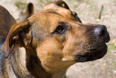 upset dog snarling