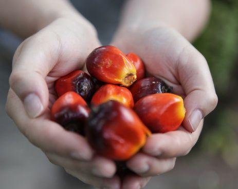 <p>I maggiori produttori di olio di palma sono la Malesia (da sola<br>rappresenta il 39% della produzione mondiale), l'Indonesia e la Papua Nuova Guinea. Sebbene l'olio di palma sia una fonte di energia rinnovabile, i danni provocati all'ambiente dalla sua produzione sono enormi: la continua richiesta del mercato di questo prodotto induce i paesi produttori a convertire alla coltivazione di palme delle aree ecologicamente importanti come zone di foresta pluviale. Senza contare le considerevoli emissioni di carbonio provenienti dalla monocoltura dell'olio di palma.</p>