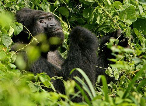 <p>È una delle due sottospecie del gorilla orientale ed è considerata una specie in pericolo critico di estinzione sia per la scarsezza degli esemplari rimanenti che per la ristrettezza della superficie abitata.</p>