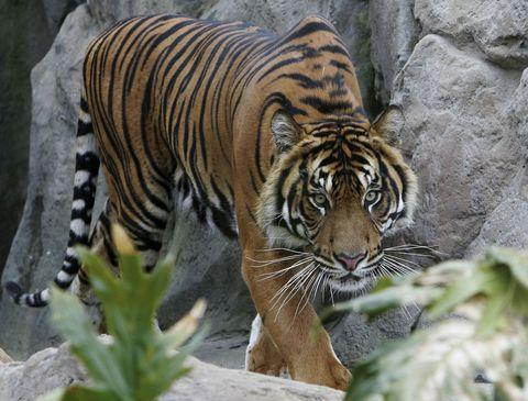 <p>Di tigre di Sumatra ne restano in tutto 4/500 esemplari che vivono soprattutto nei parchi nazionali dell'isola indonesiana di Sumatra.</p>