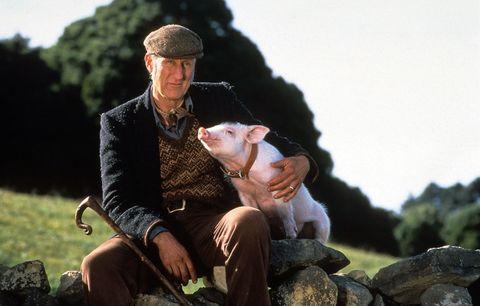 <p>Era il 1995 quando sul grande schermo comparve un maialino così tenero da rimanere impresso a tutti, grandi e piccini: era <strong>Babe</strong>, protagonista di una storia che, soprattutto, parla di umanità. Nel film il maialino, vinto al luna-park dal contadino Arthur Hoggett (interpretato da <strong>James Cromwell</strong>), è destinato a diventare il pranzo di Natale: un finale più che prevedibile per un maiale. Ma Babe, dalle doti insolite, stringe amicizia con i cani da pastore della fattoria e impara lui stesso a condurre il gregge. Arthur, riconoscendo il talento del maialino, non solo lo salva dal macello, ma lo iscrive a una gara riservata ai cani da pastore e Babe, sotto gli occhi sorpresi di tutti, la vince. Il ruolo di Babe, durante le riprese del film, è stato affidato a ben 30 maiali diversi perché crescevano troppo velocemente rispetto alla lavorazione della pellicola. James Cromwell, attore che ha impersonato il fattore Hoggett, dopo la fine delle riprese è diventato <strong>vegano</strong>.</p>