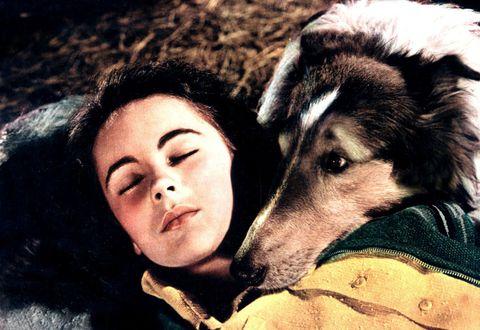<p>Il primo episodio della serie tv andò in onda nel settembre del 1954 per dare il via a diciassette stagioni: <strong>Lassie</strong>, la collie fedele che attraversa radure e montagne per ricongiungersi al proprio proprietario, è stata anche protagonista di film sul grande schermo. La protagonista del racconto di <strong>Eric Knight</strong> da cui è stato tratto il successo televisivo e cinematografico era una femmina ma, in pellicola, è stata il più delle volte interpretata da cani maschio. All'esordio cinematografico <em>Torna a casa, Lassie! </em>(1948), fu infatti interpretata da <strong>Pal</strong>, un maschio di un anno senza pedigree portato alla <strong>Mgm</strong> dall'addestratore Rudd Weatherwax. Al fianco di Pal, una giovanissima<strong> Liz Taylor</strong> nel ruolo di Priscilla.</p>
