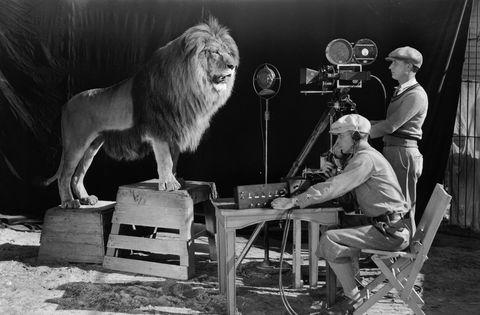 <p>Un ruggito e via, inizia il film: è questo il suono che precede la proiezione di alcuni dei più grandi capolavori del cinema, tra cui <em>Via col Vento</em>, <em>Thelma & Louise</em> e <em>La maschera di ferro</em>. Se i film della <strong>Metro Goldwyn Mayer</strong> sono conosciuti da tutti, meno nota è la storia del leone diventato simbolo della compagnia. Il primo felino a impersonare <strong>Leo the Lion</strong> si chiamava <strong>Slats</strong>, nato nello zoo di Dublino il 20 marzo del 1919. Cresciuto e addestrato da Volney Phifer, Slats morì nel 1936 e fu sepolto a Gillette, nel New Jersey, vicino alla fattoria dove viveva con Phifer. Dopo di lui, ben sei leoni si passarono la parte.</p>