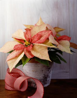 Come Si Conserva La Stella Di Natale.Stella Di Natale Cure E Consigli Per Conservare A Lungo La Poinsettia