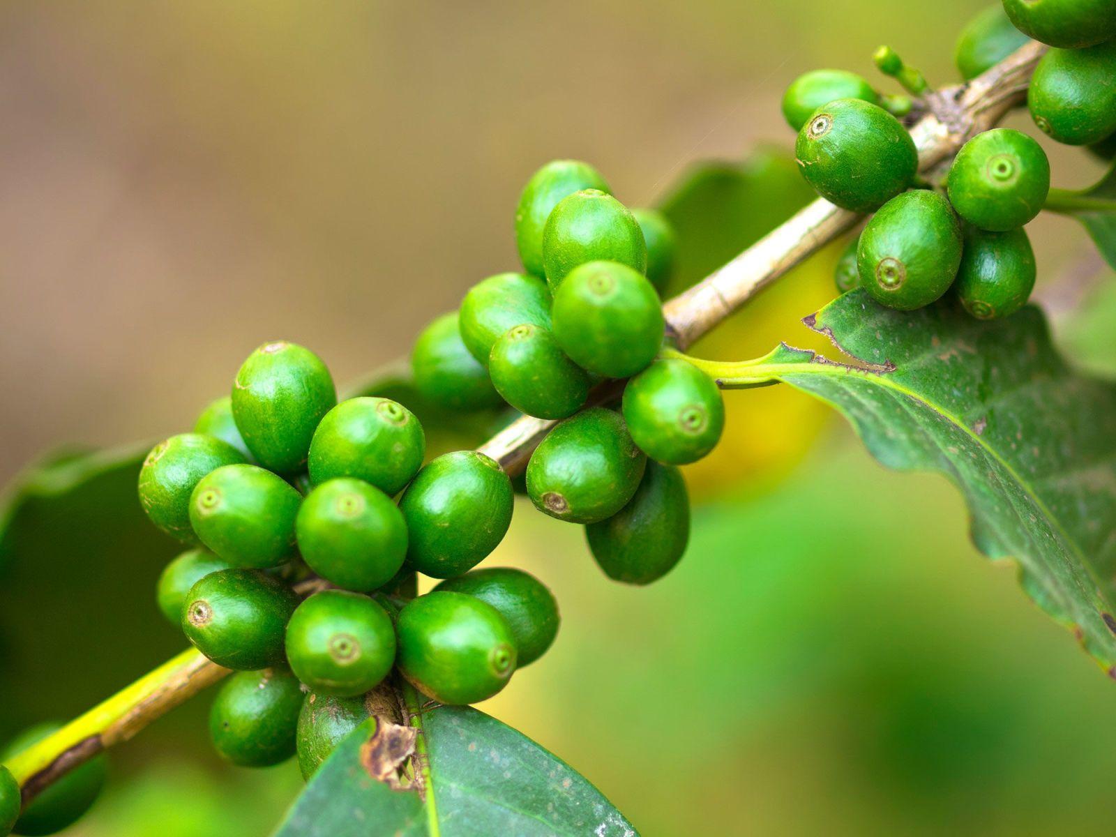 cos è un buon estratto di chicco di caffè verde