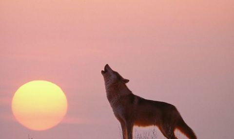 Cosa c'è di vero e cosa invece è totalmente inventato sull'uomo-lupo? lupo che ulula alla luna