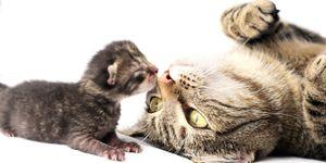 gatto-mamma-cucciolo