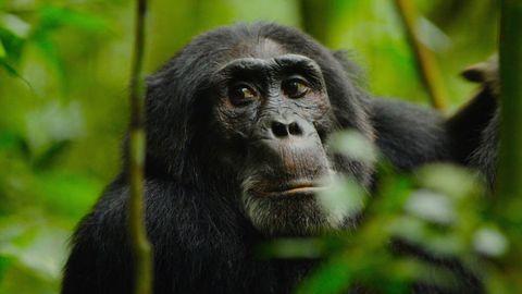 documentario-esercito-scimmie