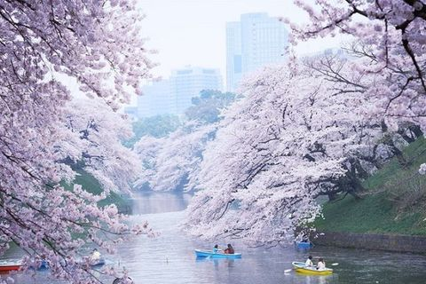 Tokyo Giappone fioritura ciliegi hanami sakura