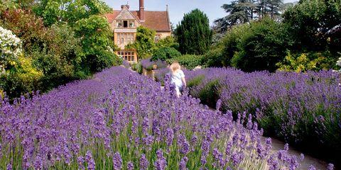 Plant, Purple, Lavender, Lavender, Garden, Shrub, Groundcover, Flowering plant, Spring, Subshrub,