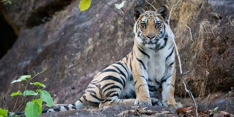 Vegetation, Nature, Tiger, Organism, Bengal tiger, Natural environment, Leaf, Felidae, Siberian tiger, Carnivore,