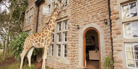 Giraffe, Brown, Giraffidae, Window, Property, Wall, Facade, Real estate, Brick, Door,