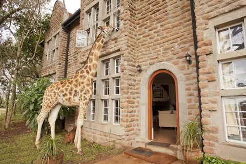 """<p><span>This magical boutique hotel was built in the 1930s on the forested outskirts of Nairobi.</span><span>The Rothschild giraffes – which have been carefully nurtured and bred by the manor in order to reintroduce them to the wild – are known for sticking their heads through the windows at meal times, or joining</span><span>guests for afternoon tea on the terrace as the sun sets behind the Ngong Hills. Ten individually</span><span>styled rooms have elegant furnishings, art deco features and four-poster beds.</span></p><p><i data-redactor-tag=""""i"""">From about £430 a room a night (<a href=""""http://www.thesafaricollection.com"""" target=""""_blank"""" data-tracking-id=""""recirc-text-link"""">thesafaricollection.com</a>).</i></p>"""
