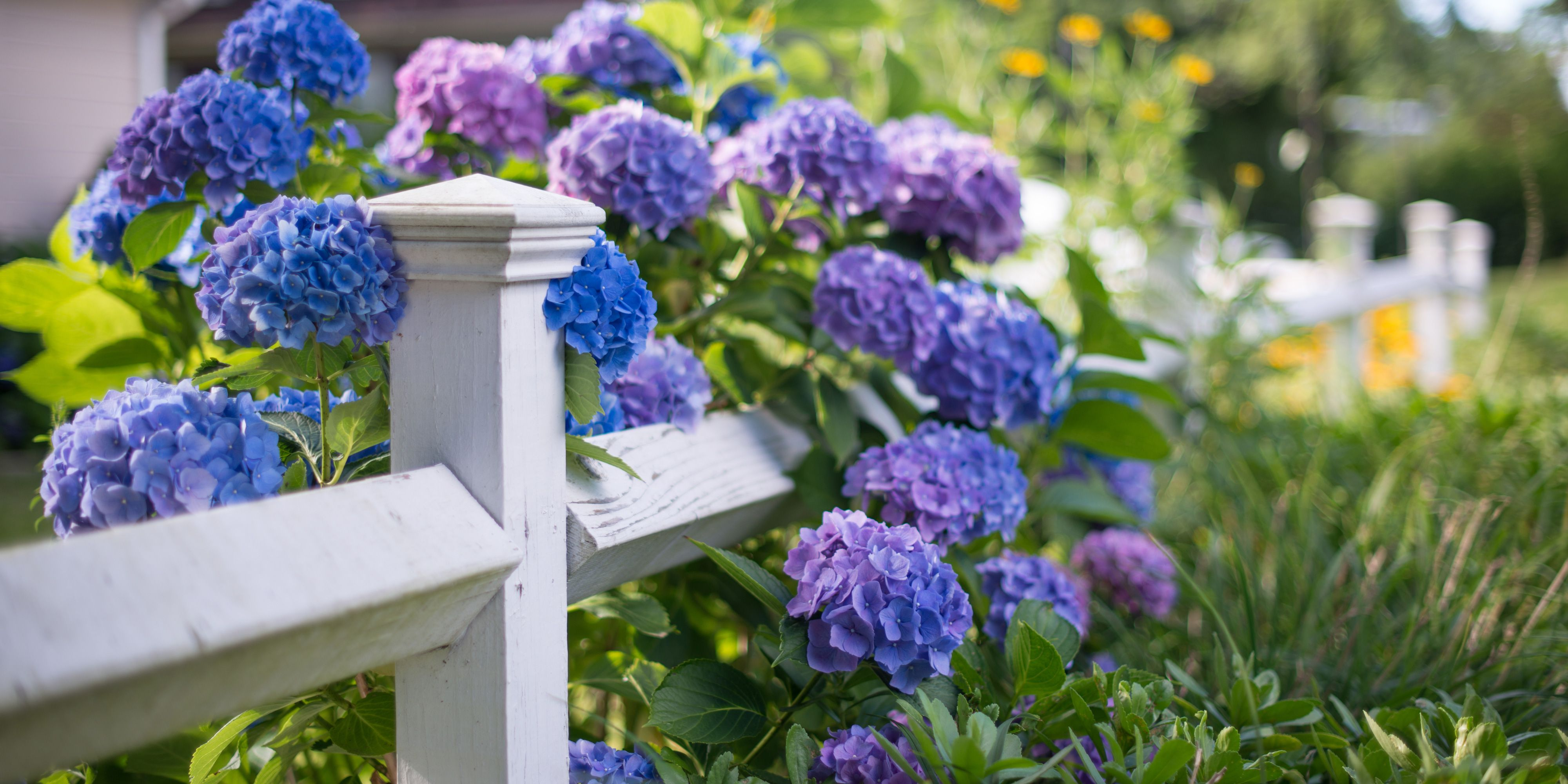 13 Facts Every Hydrangea Lover Should Know