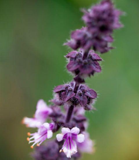 Thai Basil - Herbs with Gorgeous Blooms