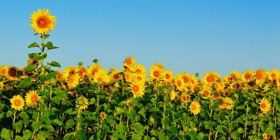 9 Cool Things You Might Not Know About Sunflowers