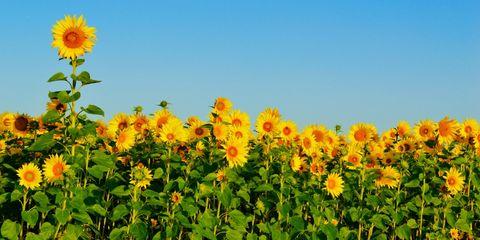 Nature, Daytime, Sunflower, Yellow, Plant, Petal, Flower, Agriculture, Plantation, Summer,