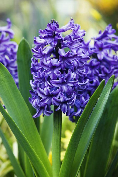 Blue, Flower, Purple, Leaf, Lavender, Flowering plant, Violet, Botany, Colorfulness, Petal,