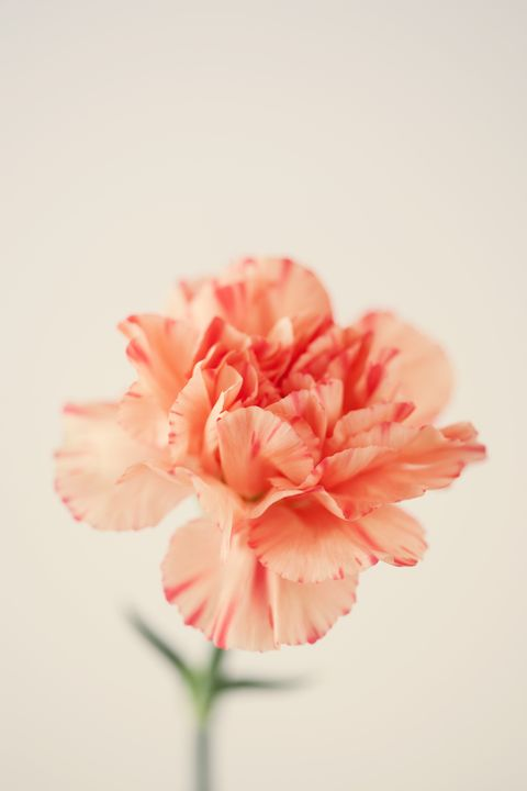 Carnation, studio shot