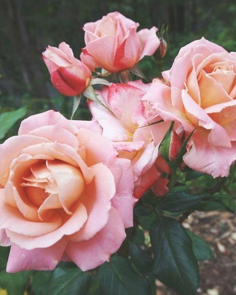 Petal, Plant, Flower, Pink, Peach, Botany, Flowering plant, Rose family, Garden roses, Rose order,