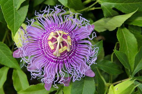 Plant, Flower, Purple, Leaf, Violet, Flowering plant, Woody plant, Botany, Terrestrial plant, Passion flower family,