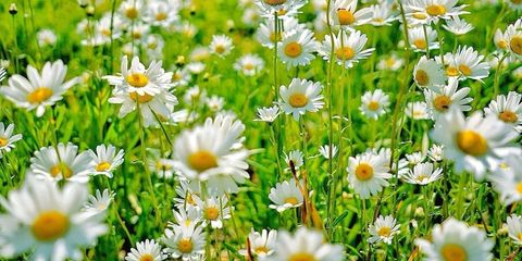 10 Nifty Things You Didn't Know About Daisies