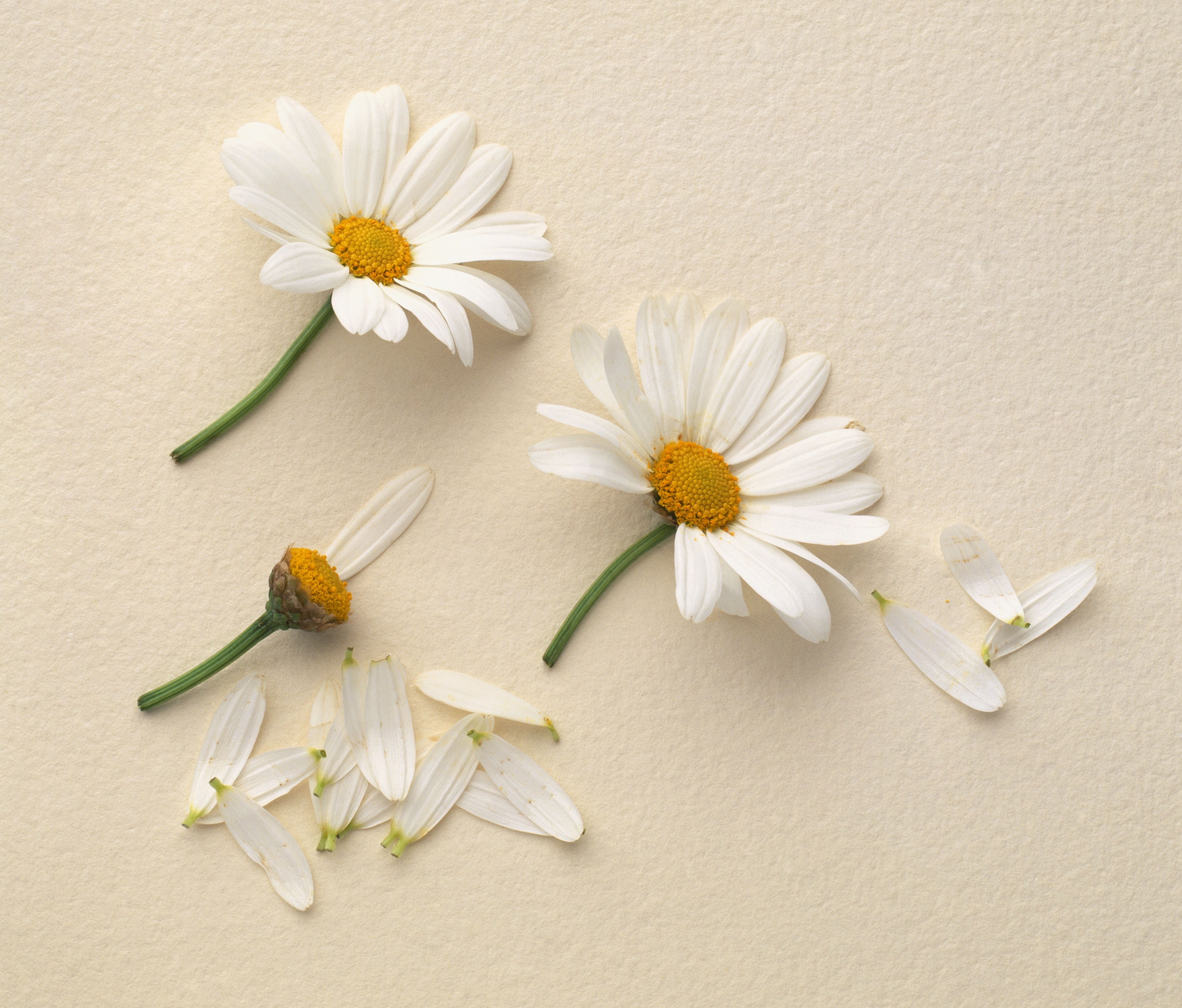 Things You Didnt Know About Daisies Daisy Fun Facts