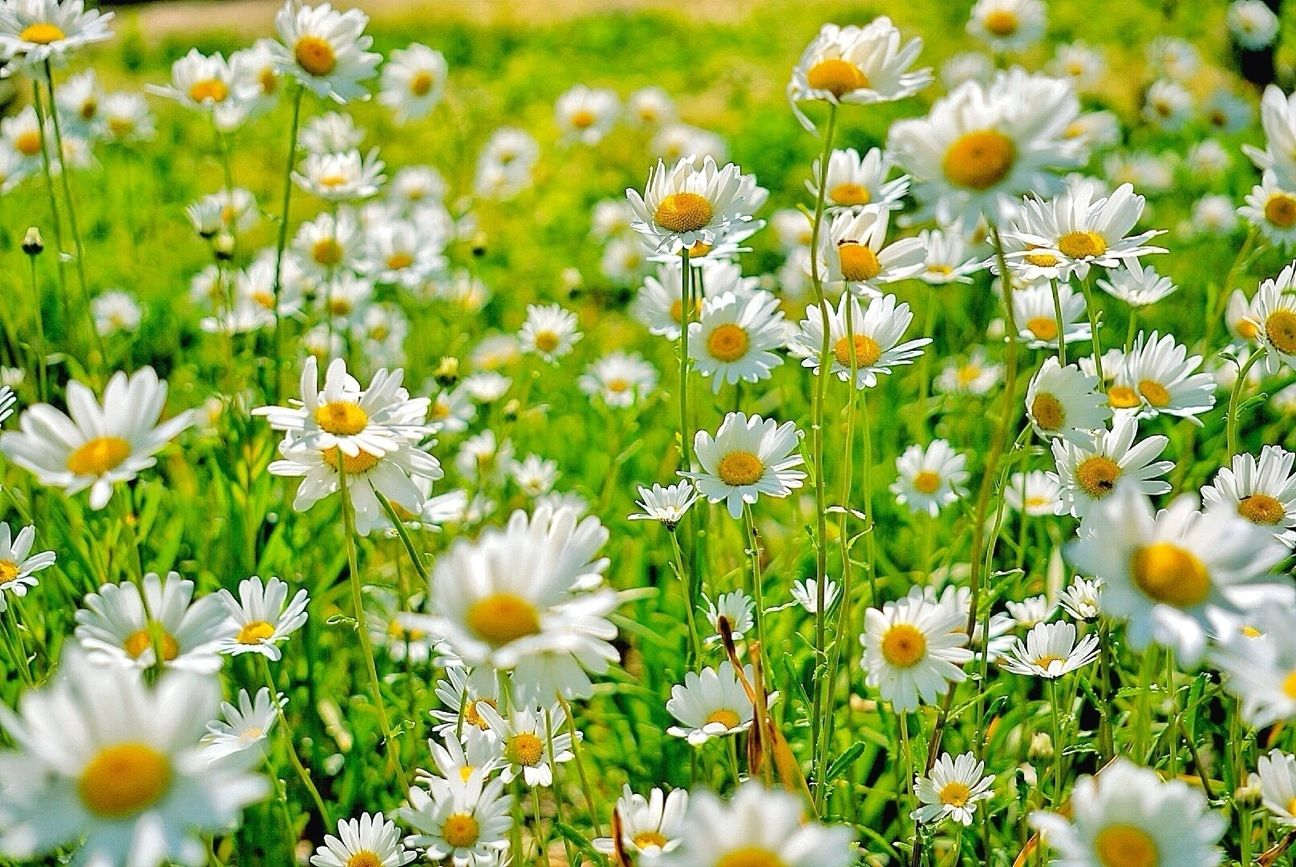 Things you didnt know about daisies daisy fun facts izmirmasajfo