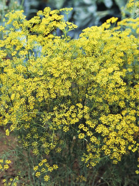 Yellow, Flower, Shrub, Subshrub, Wildflower, Mimosa, Forb, Goldenrod, Alyssum, Mustard and cabbage family,