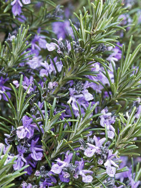 Blue, Plant, Flower, Purple, Lavender, Rosemary, Subshrub, Bellflower family, Perennial plant, Bellflower,