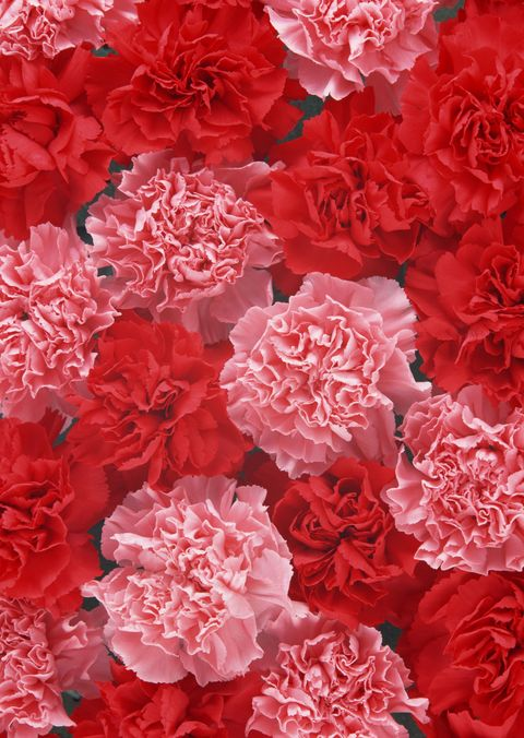 carnation colors