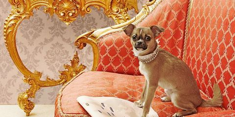 Dog, Dog breed, Carnivore, Toy dog, Chihuahua, Snout, Working animal, Couch, Home accessories, Fawn,