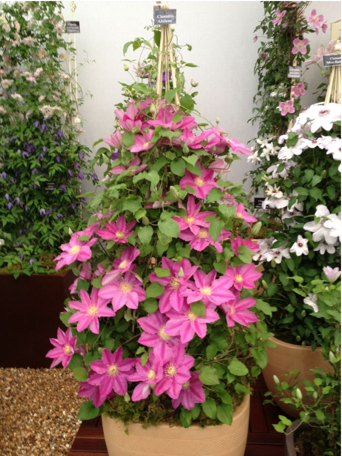 Awesome Trellis Ideas For Clematis Part - 14: House Beautiful