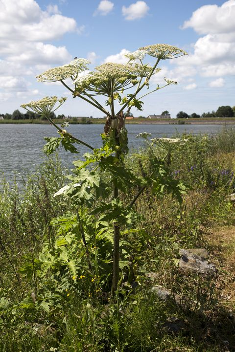 giant hogweed cow parsnip Heracleum mantegazzianum