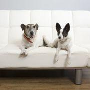 dogs on futon