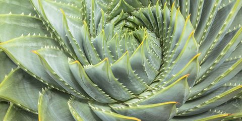 Facts About Aloe Vera Aloe Vera Plant Information
