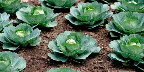 Green, Leaf, Leaf vegetable, Produce, Annual plant, Whole food, wild cabbage, Plantation, Vegetable, Herbaceous plant,