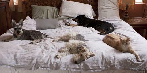 Brown, Room, Vertebrate, Carnivore, Comfort, Home, Dog, Dog breed, Interior design, Linens,