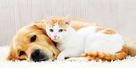 Who Loves Their Owners More: Cats or Dogs?
