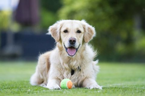 Dog breed, Grass, Carnivore, Dog, Vertebrate, Sporting Group, Retriever, Companion dog, Ball, Working animal,