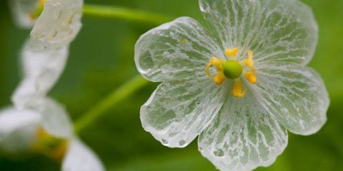 This Translucent Bloom Is the Most Beautiful Flower You've Never Heard Of