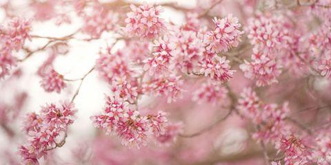 Petal, Organism, Flower, Pink, Colorfulness, Botany, Blossom, Twig, Spring, Flowering plant,