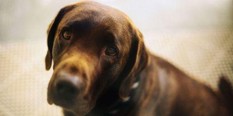 Dog breed, Brown, Skin, Carnivore, Dog, Mammal, Iris, Organ, Liver, Snout,