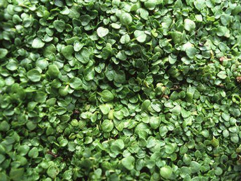 green mint plant