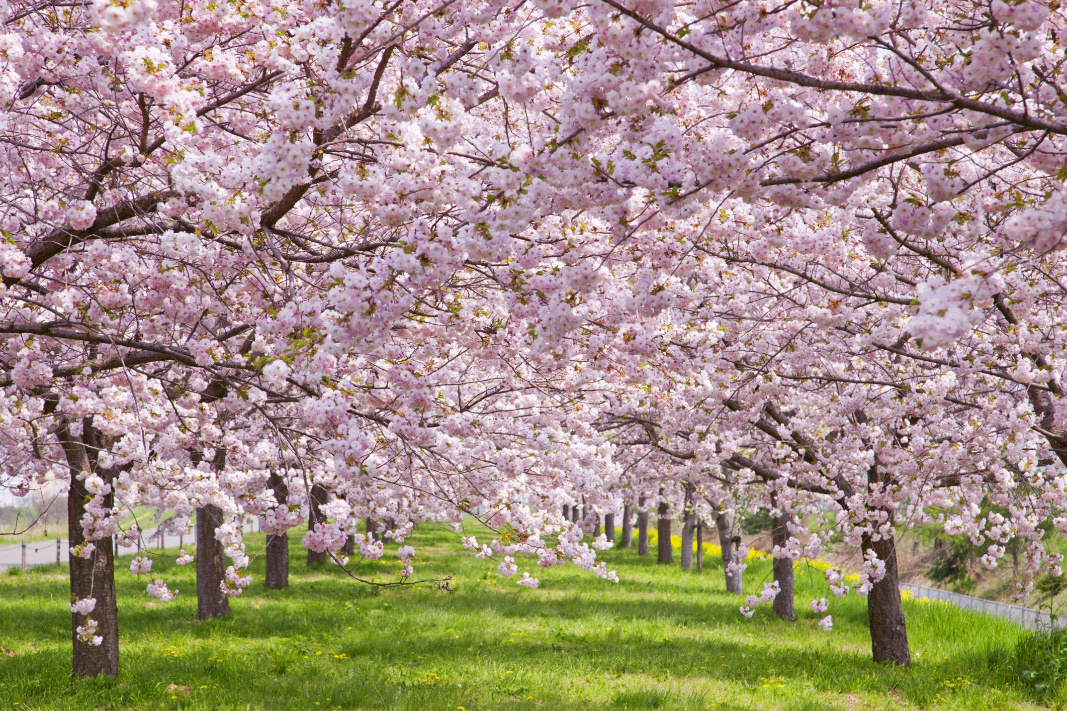 16 Cherry Blossoms Facts Cherry Blossoms And Blossom Tree Trivia
