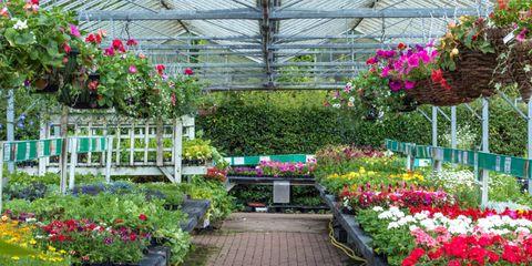 Plant, Flower, Garden, Shrub, Petal, Greenhouse, Magenta, Botany, Groundcover, Annual plant,