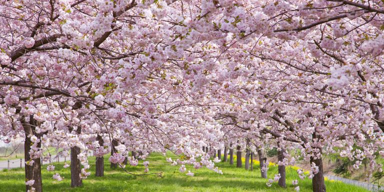 16 Things You Didn T Know About Cherry Blossoms