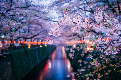 Branch, Flower, Blossom, Petal, Woody plant, Colorfulness, Reflection, Spring, Twig, Cherry blossom,