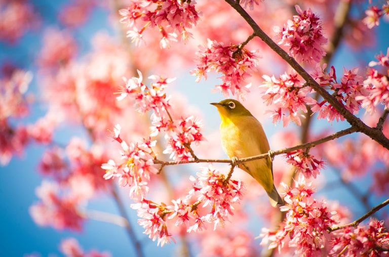 cherry tree quiz 16 cherry blossoms facts cherry blossoms and blossom tree trivia