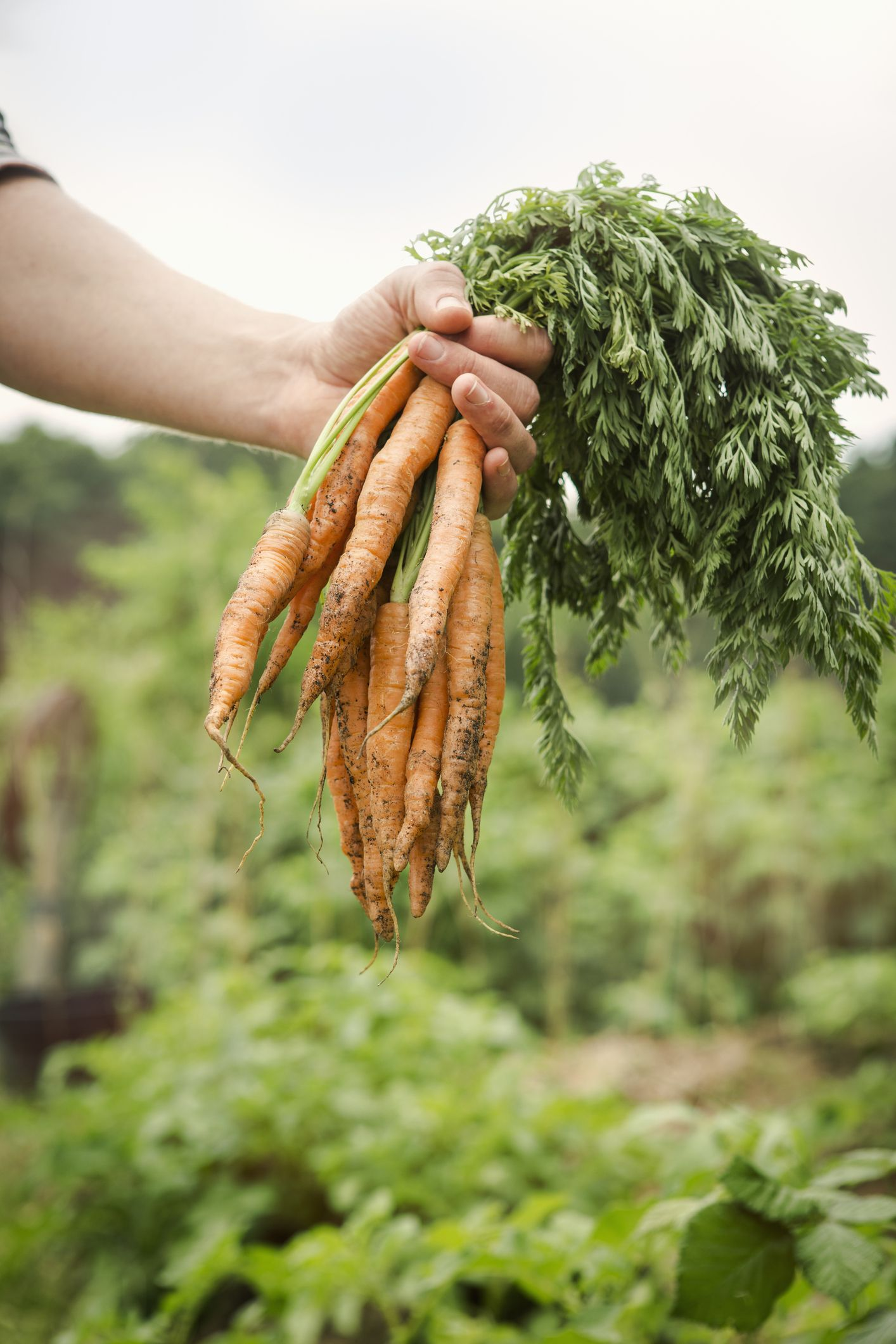 <p><i><strong>What it needs: </strong></i>Sow carrot seeds by late July to early August. Keep the soil moist because they won't germinate in dry soil. Thin plants because if they're too close together, they'll be stunted and deformed. Try mulching with straw to make your harvest last longer. While they won't keep growing in cold weather, they will become sweeter-tasting after a frost, says Smith.</p><p><i><strong>Varieties to try: </strong></i>Scarlet Nantes, Nelson and Napoli</p>